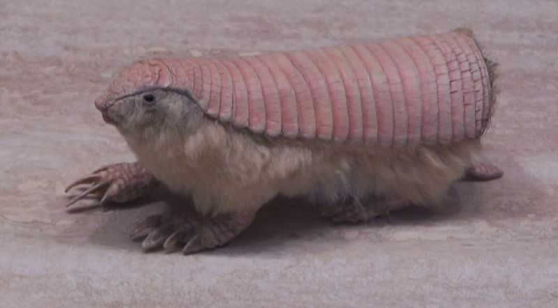 Pink fairy armadillo, via Hawaii McGraths flickr
