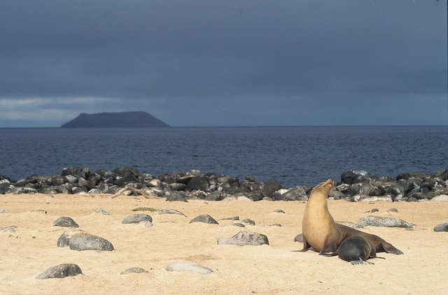 Fur sea lions are a sight to see on the Galápagos Islands