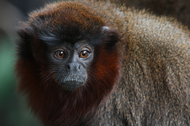 Red titi monkey (Photographer: Nicki; Flickr)