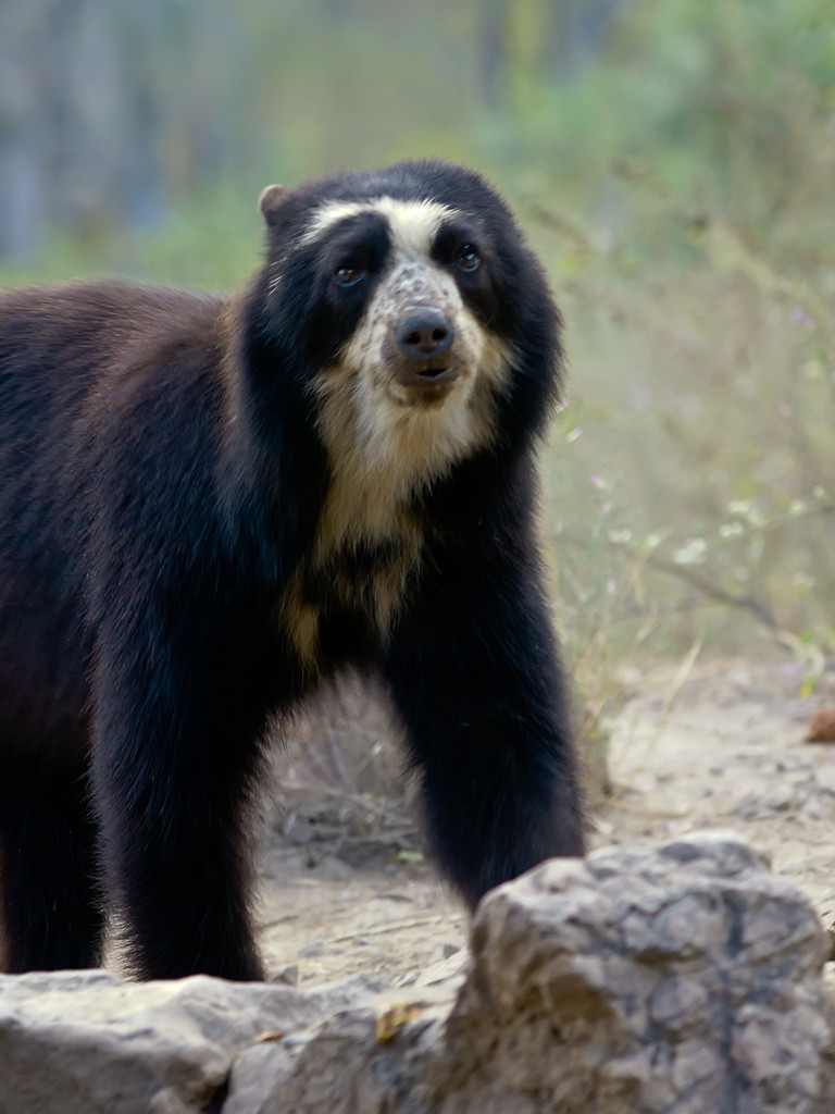 The Andean bears are the only bears native to Latin America