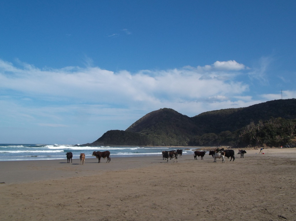 Cows on the beach on Port St Johns (a typical Transkei sight) © Caitlin Tonkin